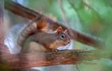 Red Squirrel On A Branch 52010