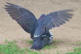 Pigeon Sex 14732