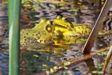 Froggie Face-off 14771