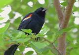 Red-winged Blackbird 15031