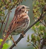 Little Brown Bird 15240
