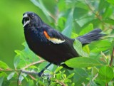 Red-winged Blackbird 14911