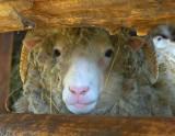 Nosy Sheep 15284