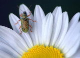 Bug On A Wild Daisy 20070620