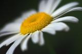 Wild Daisy Closeup 15433