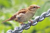 Little Brown Bird 15256