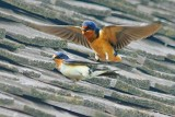Swallows On A Barn Roof 20080622