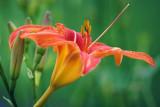 Orange Day Lily 20080627