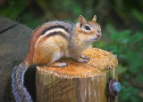 Chipmunk On A Post 15728