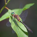 Dragonfly 15602
