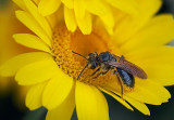 Bee On A Yellow Flower 15805