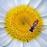 Bug On A Daisy 15788