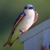 Tree Swallow 15907
