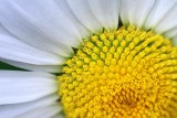Daisy Closeup 20080708