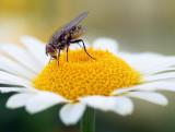 Bug On A Daisy 15796