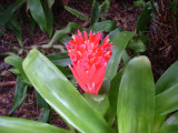 Billbergia concolor