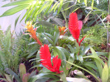 Vriesea hybrid