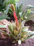 Aechmea pineliana minuta