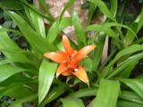 Canistropsis billbergoides