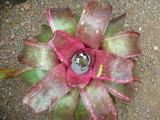 Neoregelia hybrid (seed grown)