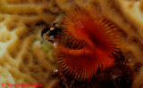 Star Horseshoe Worm