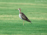 Sod farm birds: 2008-2011