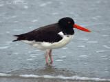 Shorebirds, Auks, Gulls, Terns