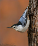 Chickadees , Nuthatches and allies