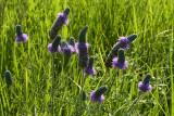 purple prairie-clover.jpg