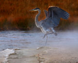 Heron with a Hot-Foot