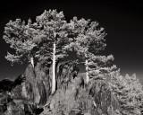 Three Trees (IR)