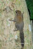 (Exilisciurus exilis)  Plain Pigmy Squirrel
