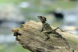 (Gonocephalus grandis) Giant Angle-headed Lizard