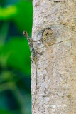 (Draco fimbriatus) Fringed Flying Lizard