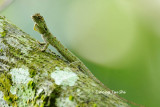 (Draco Cornutus)  Horned Flying Lizard