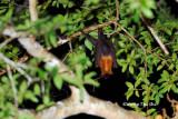 (Pteropus vampyrus)  Large Flying Fox