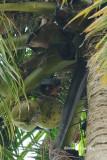 (Pteropus hypomelanus)  Island Flying Fox