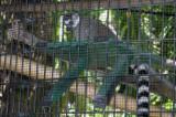 Ringtailed Lemur raspberry @Jungle Gardens