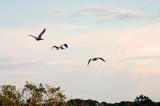 Pelicans in flight ...