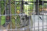Lemur playing @Jungle Gardens