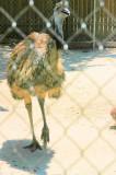 Jungle Gardens Emu