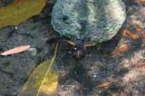 Jungle Gardens 3rd fury turtle