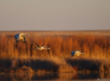Evening Fly-in, Sandhill Cranes