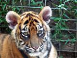 Tigers at Dreamworld, Gold Coast, Queensland, Australia, September 2008
