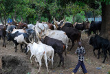 Cattle Herdsman
