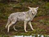 0032-Coyote.jpg