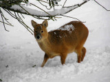 Chineese water deer