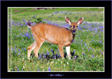 Black Tail Doe in the Lupine