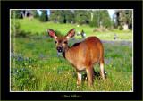 Black Tail Deer