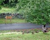 wild_turkeys_and_deer
